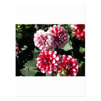 Hübsche rote und weiße Dahlie-Blumen Postkarte