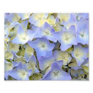 Hübsche und bunte hellblaue Hydrangea-Blumen Fotodruck