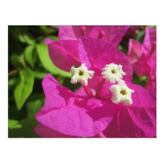 Hübsches lila Bouganvilla Postkarte