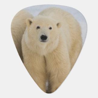 Hudson Bay Kanadas. Eisbärmutter mit zwei Plektrum