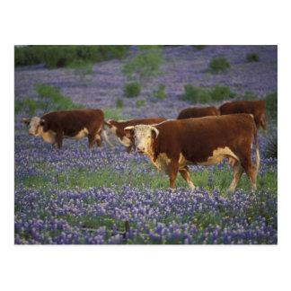 Hügel-Land USA, Texas, Texas, Hereford Postkarte