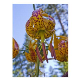 Humboldt-Lilie Postkarte