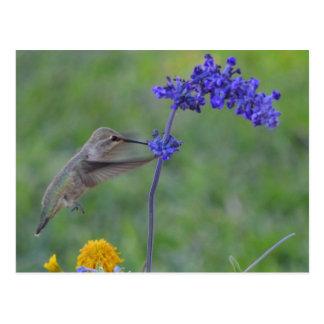 Hummer, der auf lila Blume füttert Postkarte