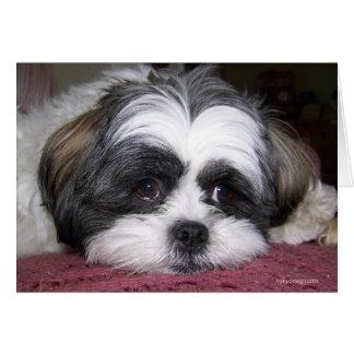 Hund Shih Tzu Grußkarte