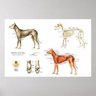 Hundeanatomie-Plakat-Muskeln und Knochen Poster