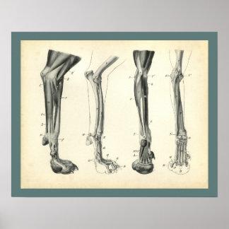Hundebein-Knochen-Muskel-Veterinäranatomie-Druck Poster