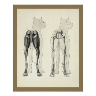Hundebein-Skeleton Muskel-Anatomie-Druck Poster