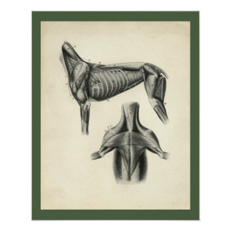 Hundemuskel-Veterinäranatomie-Druck Poster