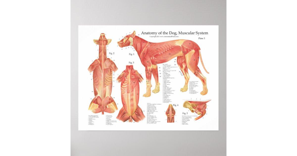 Wunderbar Hund Anatomie Poster Bilder - Menschliche Anatomie Bilder ...