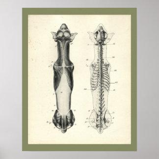 HundeSkeleton Wirbelsäule-Muskel-Anatomie-Druck Poster