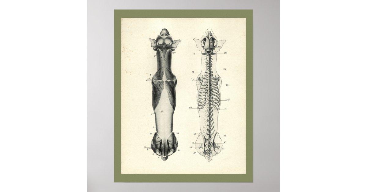 HundeSkeleton Wirbelsäule-Muskel-Anatomie-Druck Poster | Zazzle