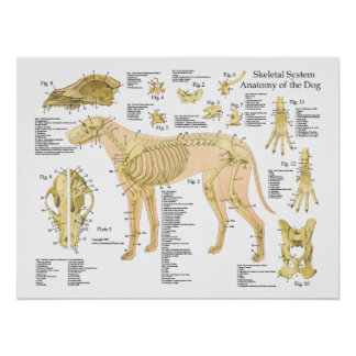 "Hundeskelettartiges Anatomie-Plakat 18"" X 24"" Poster"