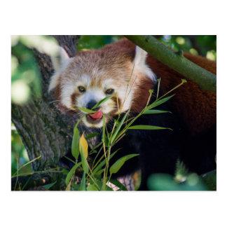 hungriger roter Panda Postkarte