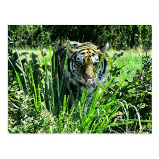 Hungriger Tiger Postkarte