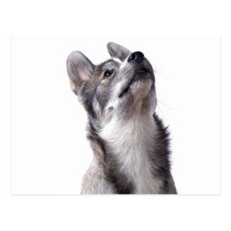 Husky puppy postkarten