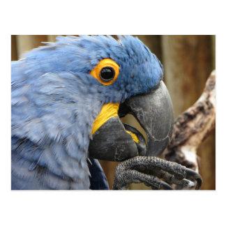 Hyazinthemacaw-Papagei Postkarte