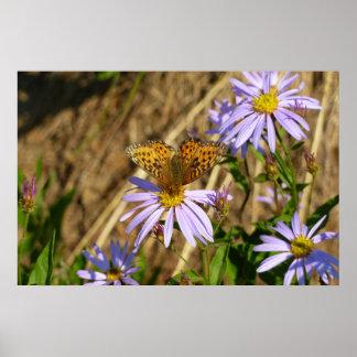 Hydaspe Fritillary auf lila Aster-Blumen Poster
