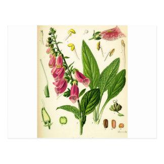igitalis purpurea - Fingerhut Postkarte
