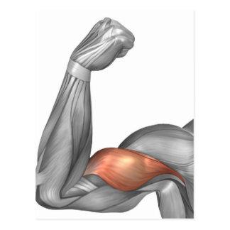 Illustration eines gebogenen Armes, der Bizeps Postkarte