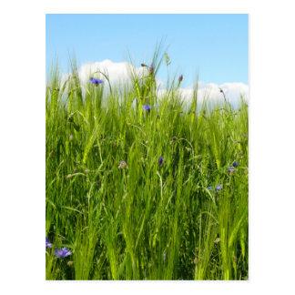 Im Frühjahr des Weizenfeldes/Weizenfeld Postkarte