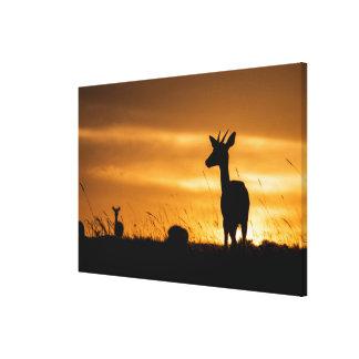 Impala am Sonnenuntergang Leinwanddruck