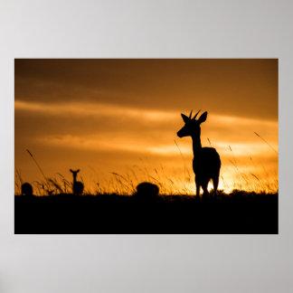 Impala am Sonnenuntergang Poster
