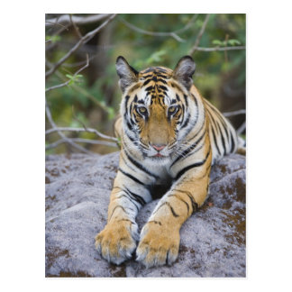 Indien, Bandhavgarh Nationalpark, Tigerjunges Postkarte
