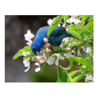 Indigo-Flaggen-Füttern - Vogel Postkarte