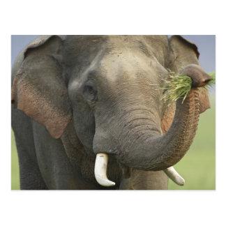 Indischer/asiatischer Elefant, der Nahrung, Postkarte