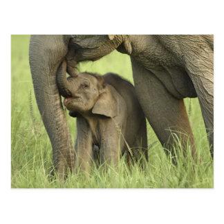 Indischer/asiatischer Elefant und Junge einer, Postkarte