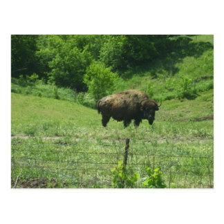 Inländische Büffel-Postkarte Postkarte
