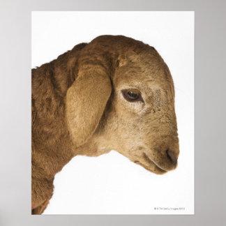 Inländisches Lamm Plakatdruck