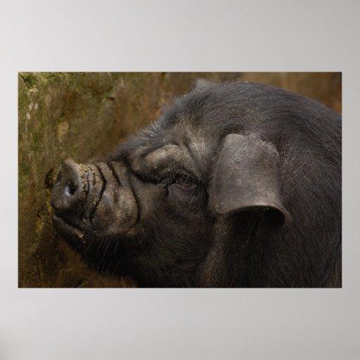 Inländisches Schwein in Hani Dorf. Yuanyang. Yunna Posterdrucke