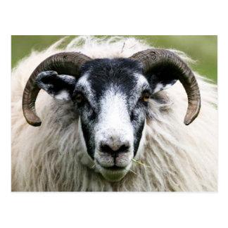 Insel-Schafe Postkarte