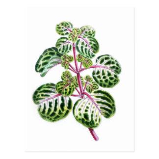 Iresine Herbstii, Aureo-Reticulata Postkarte
