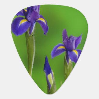 Iris-Blumen Plektrum