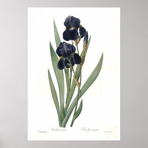 Iris germanica plakate