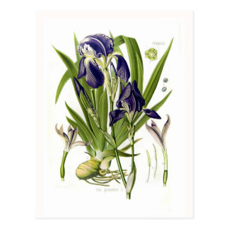 Iris germanica postkarte