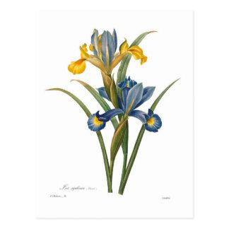 Iris xipheum postkarte