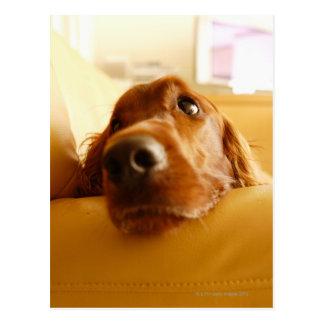 Irischer Setter auf Sofa Postkarte
