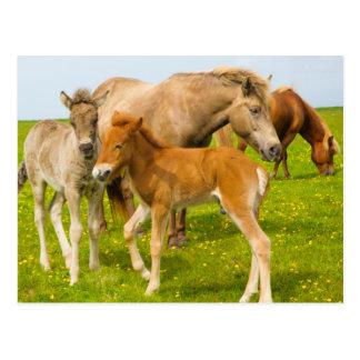 Island. Dyrholaey. Isländische Pferdefohlen Postkarte