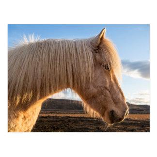 Island. Porträt des isländischen Pferds Postkarte