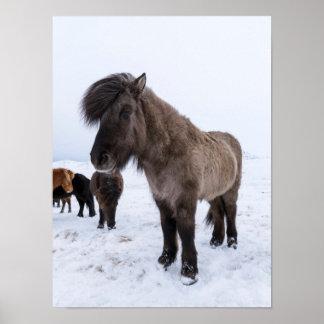 Isländisches Pferd im Winter-Mantel Poster