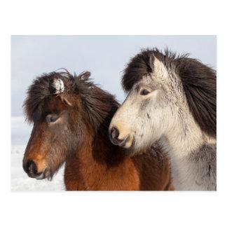 Isländisches Pferdeprofil, Island Postkarte