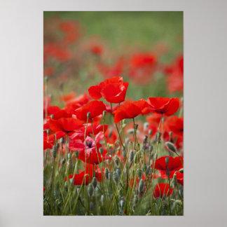 Italien, Toskana, Masse der Sommer-Mohnblumen here Plakatdrucke