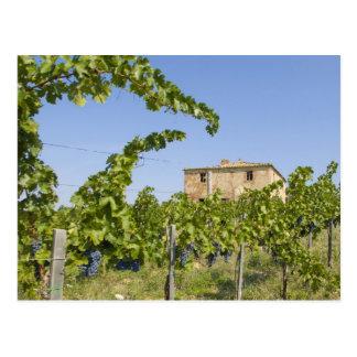 Italien, Toskana, Montepulciano. Weintrauben Postkarte