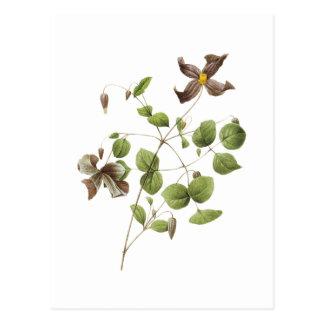 Italienische lederne Blume (Clematis) durch Postkarte