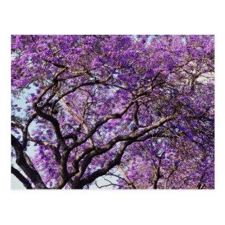 Jacarandabaum in den Frühlingsblüten-Blumen Postkarte