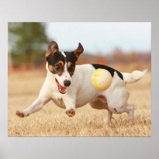 Jack-Russell-Terrier-Druck Poster