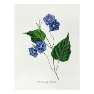 Jacquemontia pentanthos (skyblue clustervine) postkarten